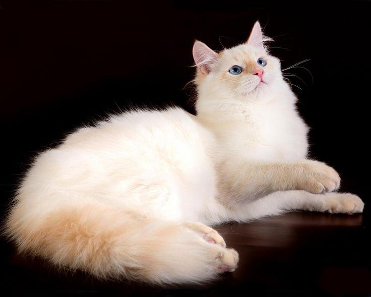 картинки сибирских белых кошек бабы снимках