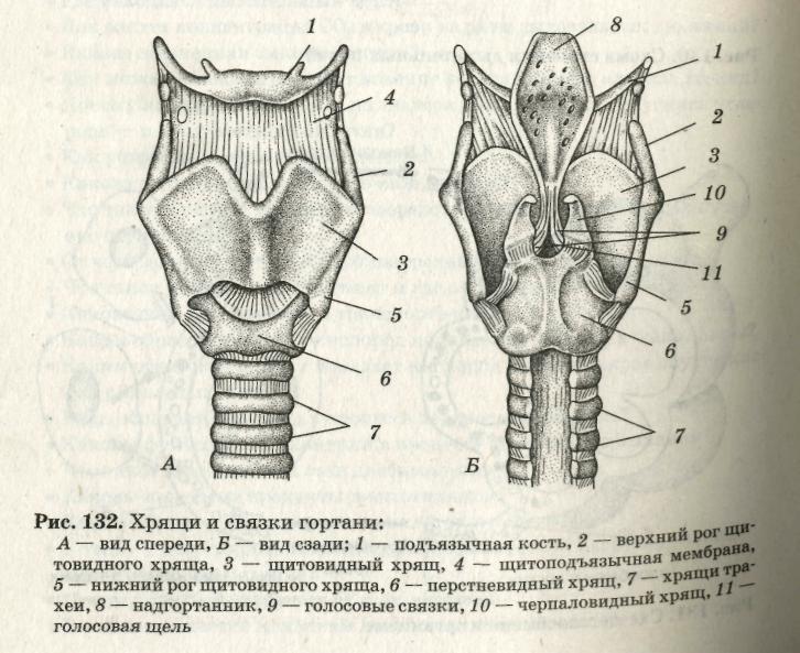 схема строения глотки крс