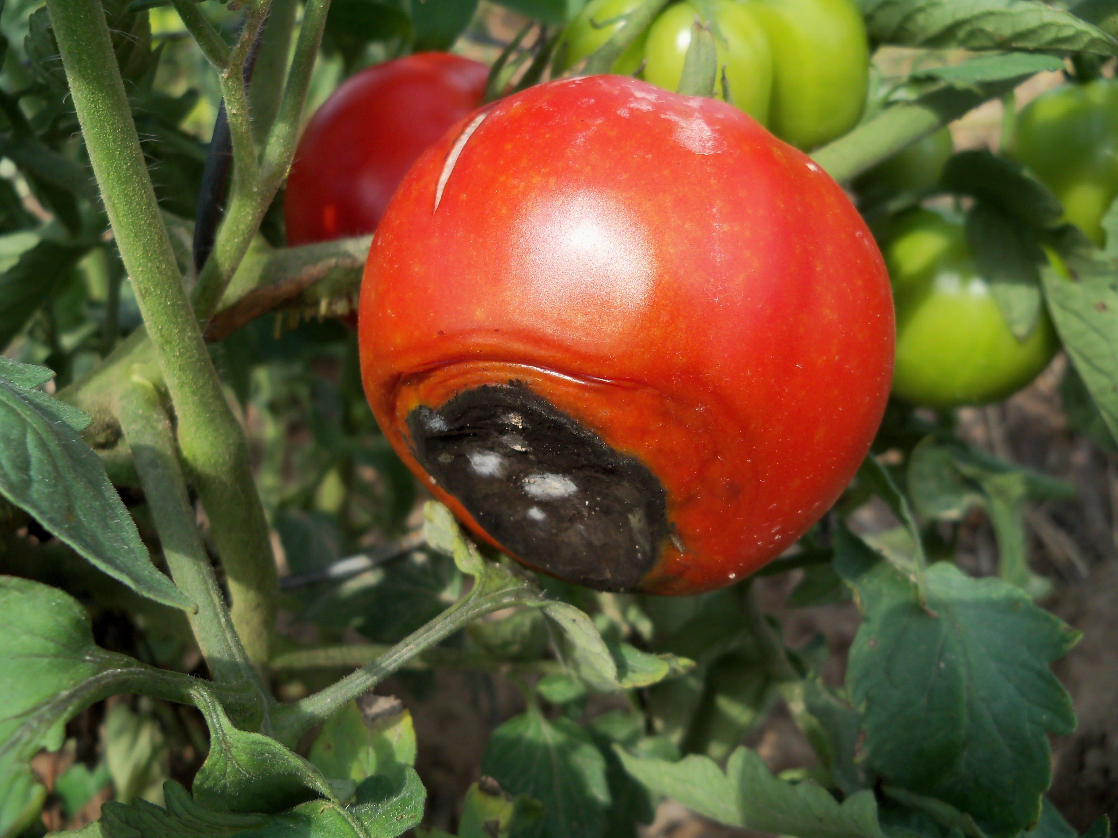 Ильди томат отзывы фото зарекомендовала