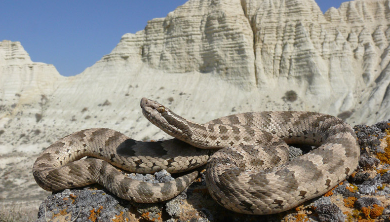 Змеи амурской области фото и название